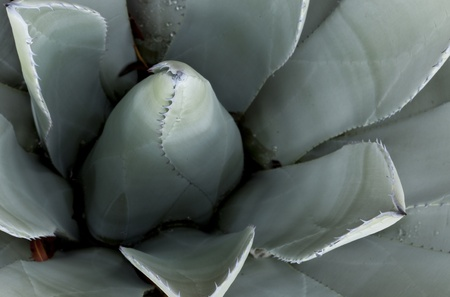 Blue Agave (agave tequilana) Stock Photo