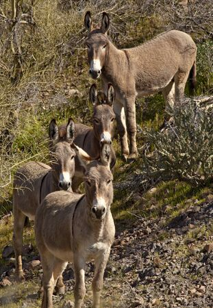 Wild Burros in Arizona Stock Photo - 11818412