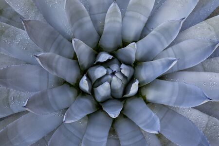 Blue Agave Close-up Stock Photo