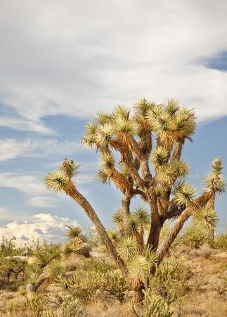 Joshua Tree in the Arizona Desert photo