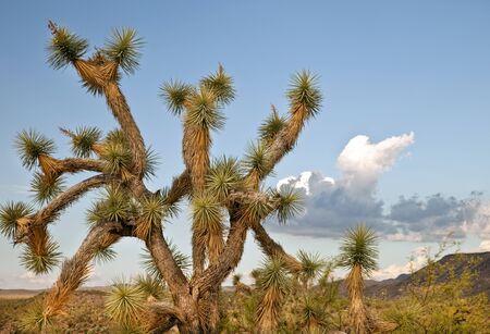 Joshua Tree in the Arizona Desert
