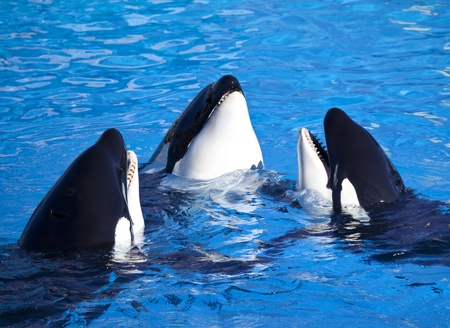 Three Orca Killer Whales Stock Photo