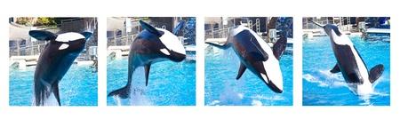 BACKFLIP: Killer Whale Backflip Sequence Stock Photo