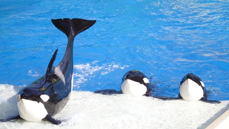 Three Orca Killer Whales Perform Imagens