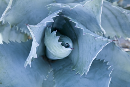 agave: Blue Agave close-up