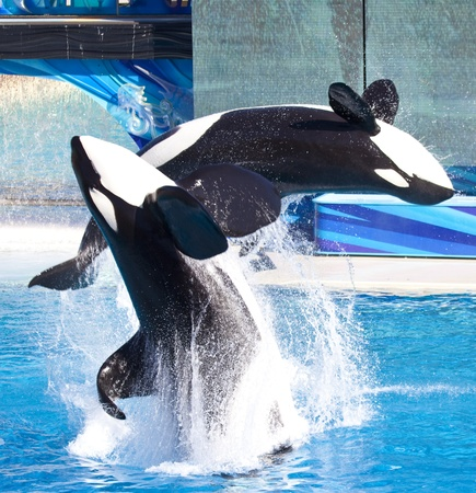 Two killer whales doing a back flip.
