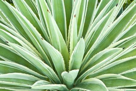 agave: Agave Planta