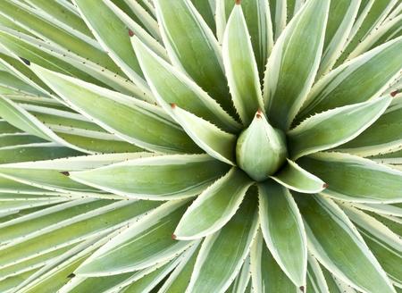 リュウゼツランの植物
