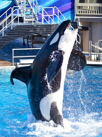 Killer whale jumps into the air showing its teeth.