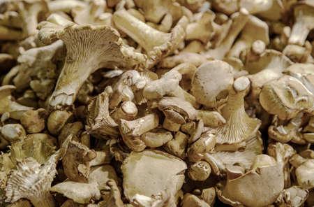 Chanterelle  Cantharellus cibarius  Mushrooms