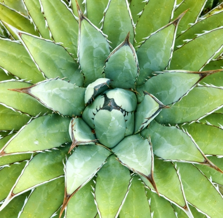 Agave -- Agave arizonica -- plant Stock Photo