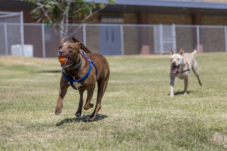 running nose: Dog with a ball being chased by a second dog Stock Photo