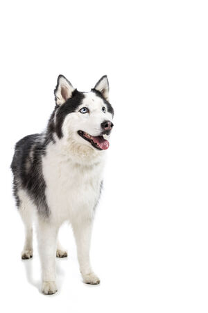 Alaskan Malamute or Husky Dog Isolated on White Stock Photo