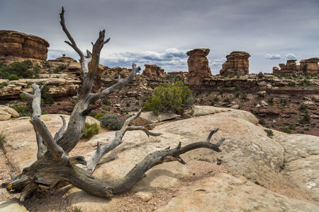 Dead Juniper Tree and Canyon at Canyonlands in Utah