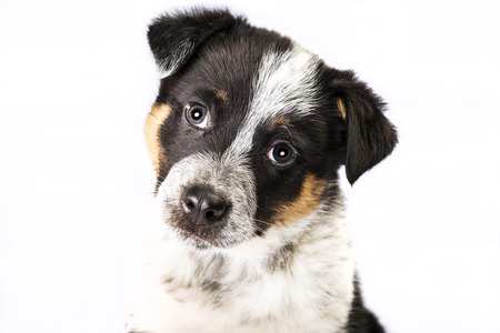 shepperd: Cute Texas Blue Heeler (a cross breed of Australian Cattle Dog and Australian Shepperd) puppy isolated on white.