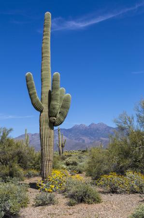 Saguaro Cactus and Brittlebrush flowers at the base of Four Peaks mountain near Scottsdale Arizona.