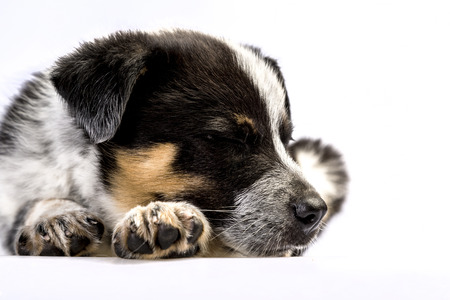 Cute Texas Blue Heeler (a cross breed of Australian Cattle Dog and Australian Sheppard) puppy sleeping isolated on white.