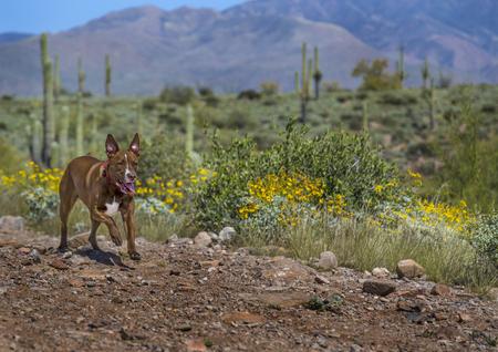 fiori di campo: Pit Bull Terrier in esecuzione nel deserto dell'Arizona con fiori primavera fiorisce lungo il sentiero.