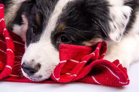 red heeler: Cute Texas Blue Heeler a cross breed of Australian Cattle Dog and Australian Shepperd puppy laying on a red blanket.