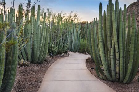 creosote: Walkway through a forest of Organ Pipe Stenocereus thurberi Cactus plants in Phoenix Arizona.