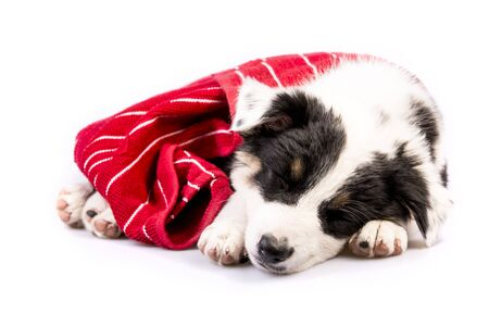 red heeler: Cute Texas Blue Heeler a cross breed of Australian Cattle Dog and Australian Shepperd puppy sleeping with a red blanket.