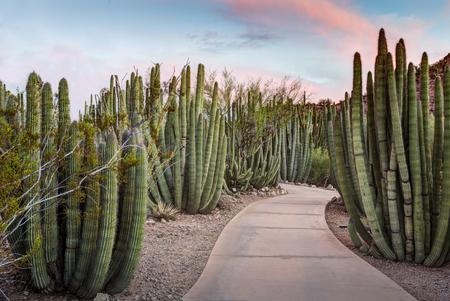 creosote: Walkway through a forest of Organ Pipe Stenocereus thurberi Cactus plants in Phoenix Arizona.
