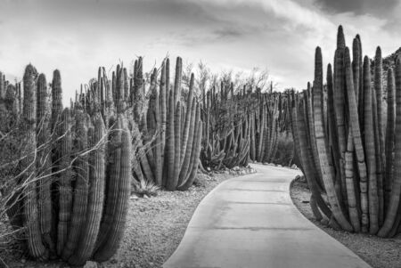 creosote: Walkway through a forest of Organ Pipe Stenocereus thurberi Cactus plants in Phoenix Arizona photographed in black and white.