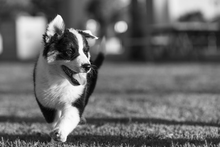shepperd: Cute Texas Blue Heeler (a cross breed of Australian Cattle Dog and Australian Shepperd) puppy running in the park in black and white.