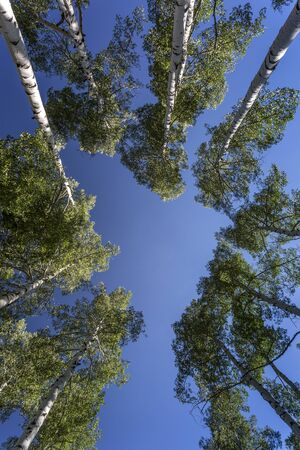 Green quaking aspen trees photographed against a blue sky.  Photographed in the Manti-Lasal National Forest in Utah.