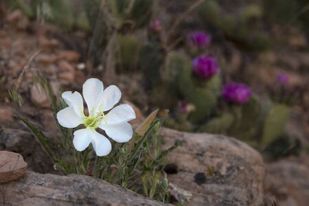 Desert primrose photographed early in the morning just as it blooms. Stok Fotoğraf