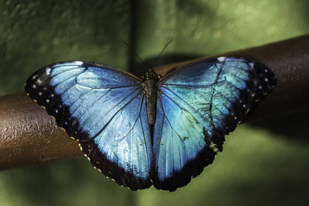Closeup of the tropical Morpho peleides butterfly with iridescent blue wings. Stock Photo