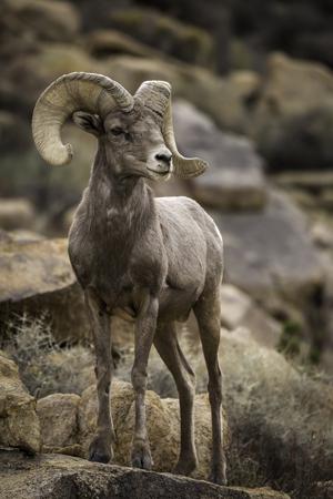 Watchful male (ram) big horn sheep in Joshua Tree National Park in California USA. Stock Photo