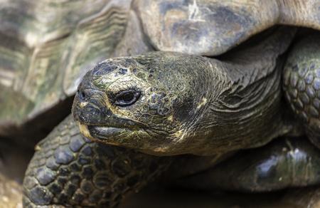 Closeup portrait of a Galapagos Tortoise (chelonoidis nigra microphyes).