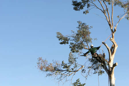 A large tree is being cut down by a man suspended ropes. A large branch is falling