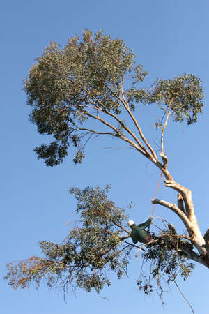 A large tree is being cut down by a man suspended ropes.