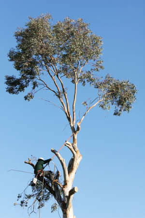A large tree is being cut down by a man suspended by ropes. He is leaning back against the rope and has a chainsaw dangling from his harness photo