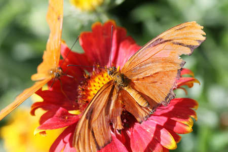 longwing: Julia Longwing Butterflies resting on a red flower Stock Photo