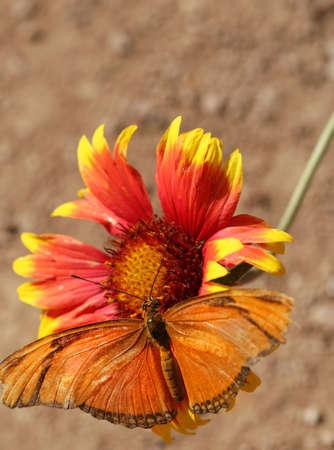 A Julia Longwing Butterfly on a flower Reklamní fotografie