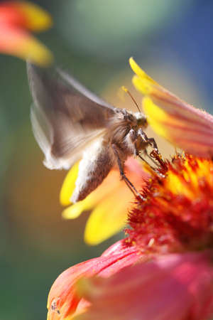 Close Up shot of a butterfly feeding off a flower. Its wings have motion blur