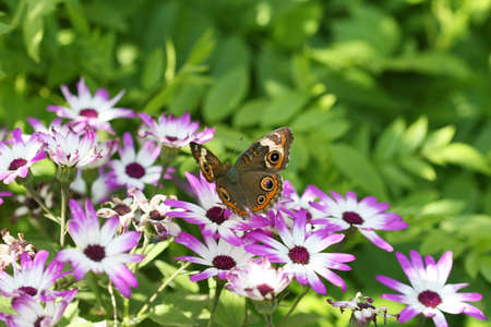 eyespot: A beautiful buckeye butterfly resting on a flower. (Junonia Coenia). The buckeye is a medium-sized butterfly with two large multicolored eyespots on hindwings and one large eyespot on forewings.