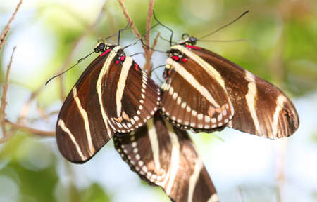 longwing: Zebra Longwing butterfly roosting under a tree branch in the desert. ( Heliconius Charitonius) Stock Photo