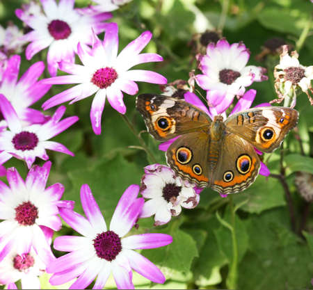 buckeye: A beautiful buckeye butterfly resting on a flower. (Junonia Coenia). The buckeye is a medium-sized butterfly with two large multicolored eyespots on hindwings and one large eyespot on forewings.