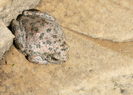 anywhere: A canyon frog is curled up in a corner of the rocks and not going anywhere.