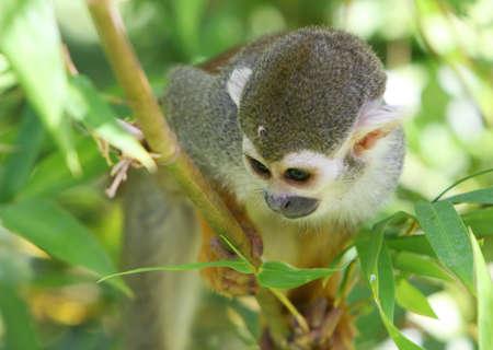 hanging around: Un mono que cuelgan en torno a los �rboles. El siempre est�n jugando