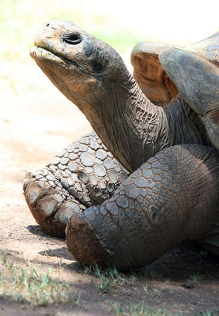 A very old galapogos tortoise. He has a long neck and cracked skin Banco de Imagens