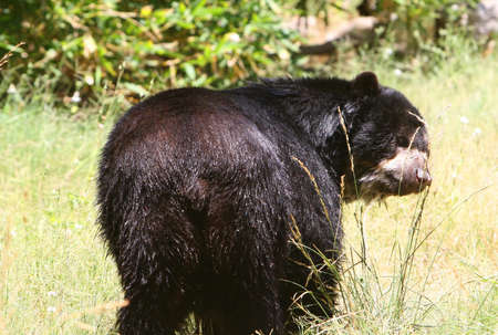 wet bear: This black bear is all wet. He just completed a summertime swim and now he must dry off in the grass