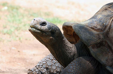 This old tortoise is wise and very slow. He rests most of the day with his huge shell on his back Banco de Imagens - 1480462