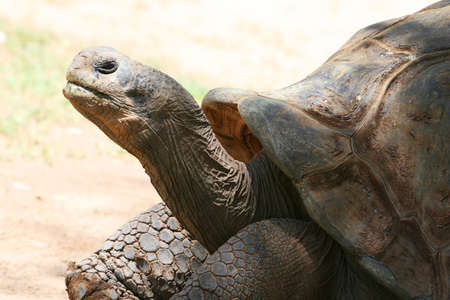 ancient turtles: A very old tortoise. I think his has seen many amazing things in his lifetime of more than 100 years Stock Photo