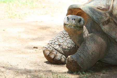 ancient turtles: A very old tortoise is a wise creature and has seen many things