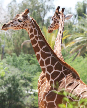 Two giraffes stand tall - its the only way they know how.